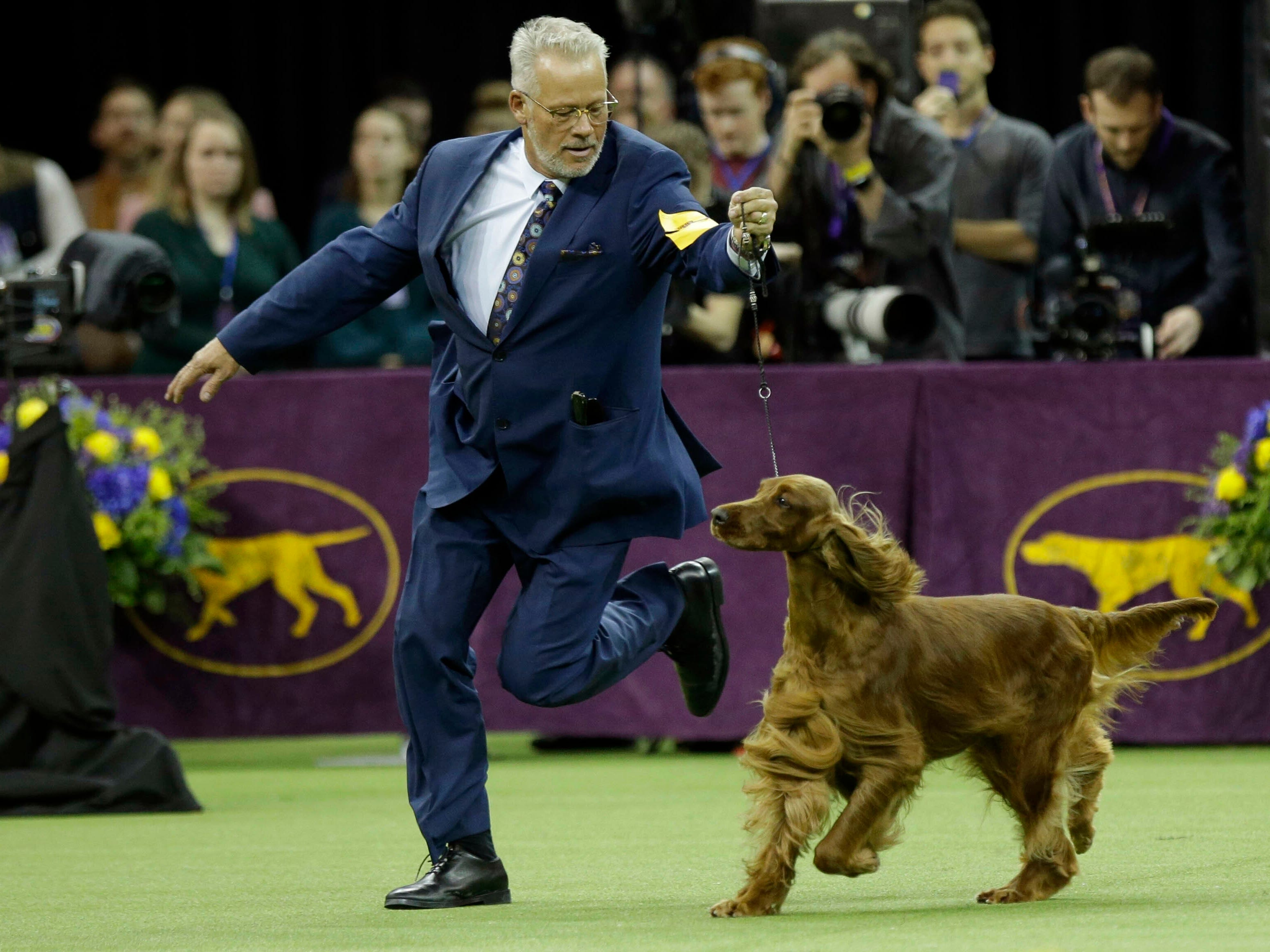 Adele, and Irish Setter, competes with the sporting group at the 143rd Westminster Kennel Club Dog Show.