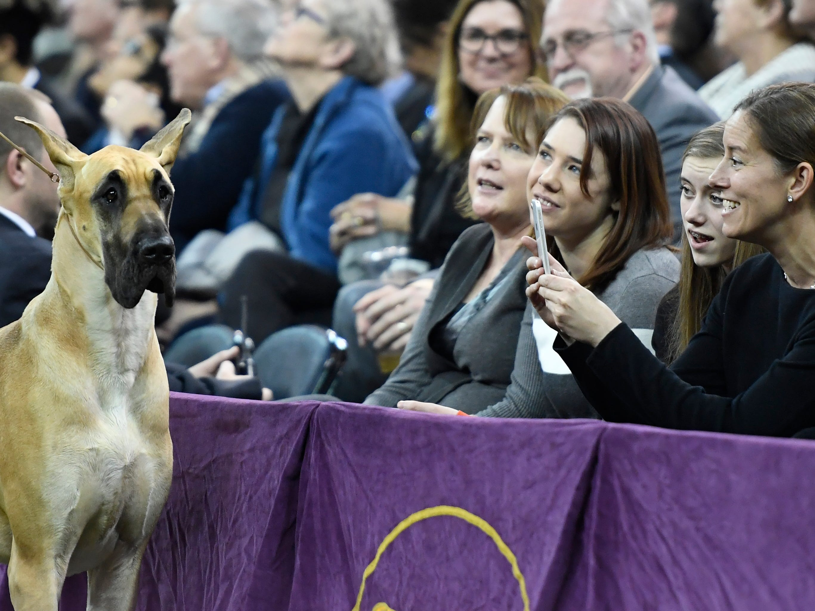 """Fans take a photo of Great Dane """"Promise"""" during Working Group judging at the 143rd Westminster Kennel Club Dog Show."""