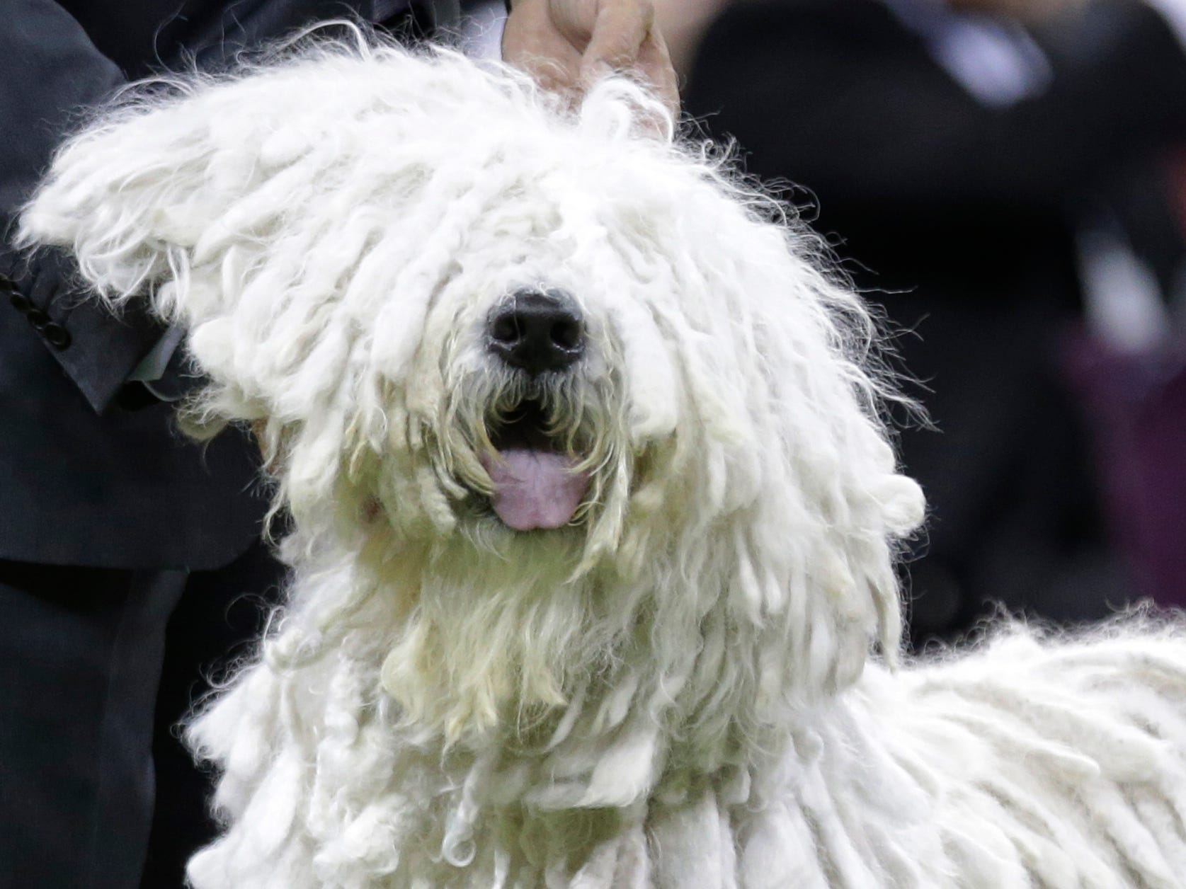 A Komondor competes with the working group at the 143rd Westminster Kennel Club Dog Show.
