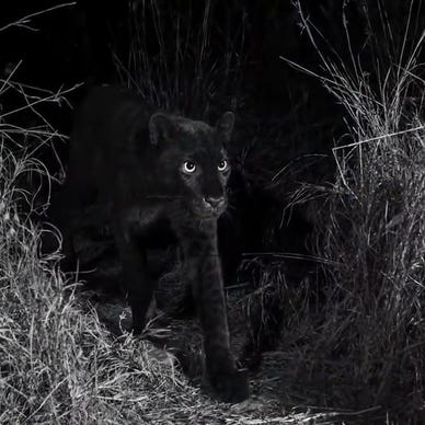 9aaa16d5ee5ad7 Rare black leopards in Africa captured in photos