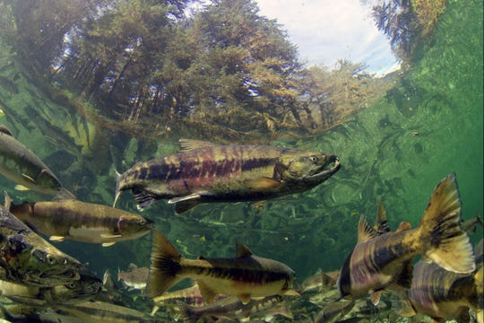 Salmon feed bears and all levels of the ecosystem in the Great Bear Rainforest, where they swim upstream annually to spawn.