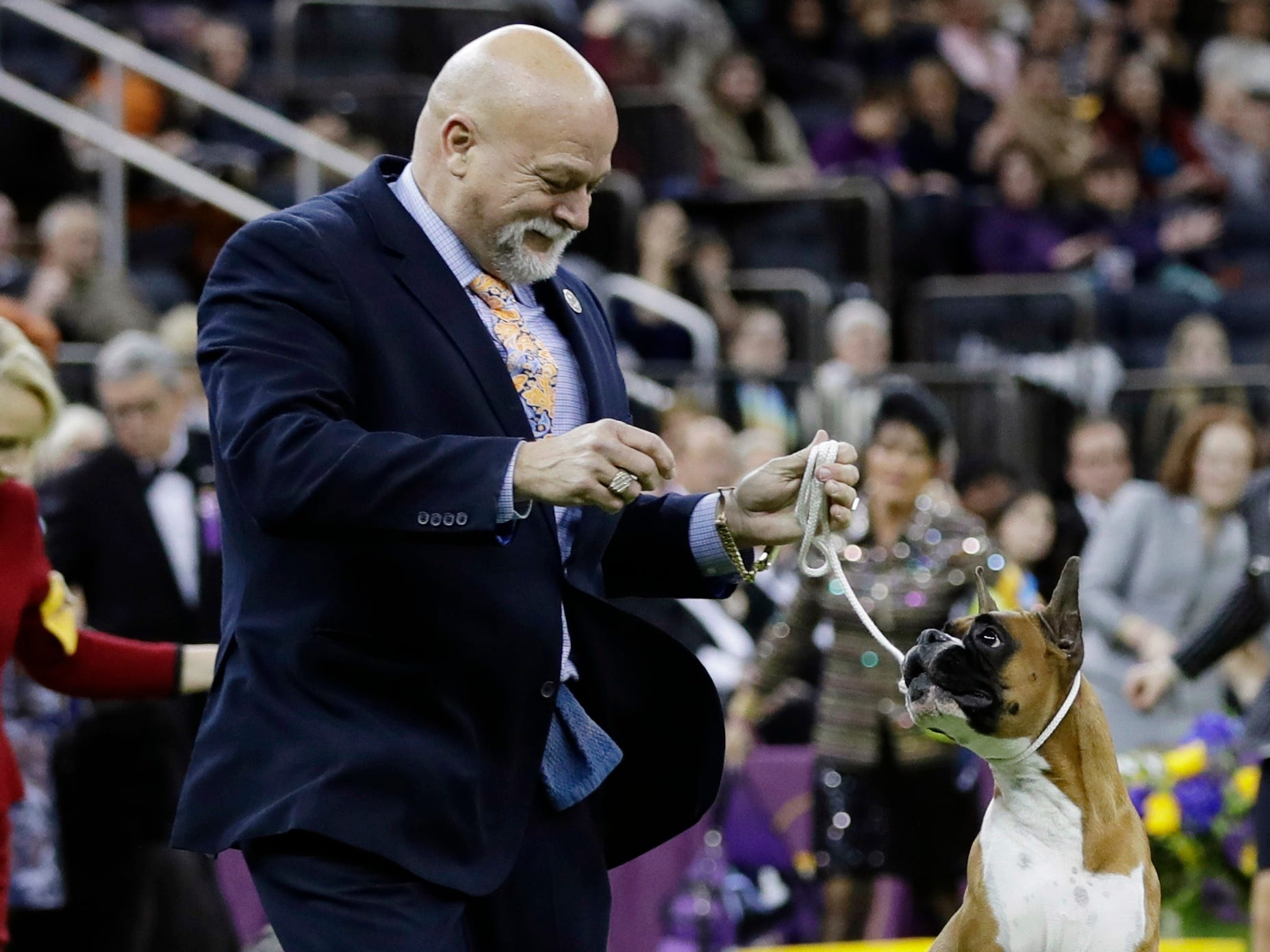 Michael Sheppard handles Wilma, a boxer, in the working group at the 143rd Westminster Kennel Club Dog Show.