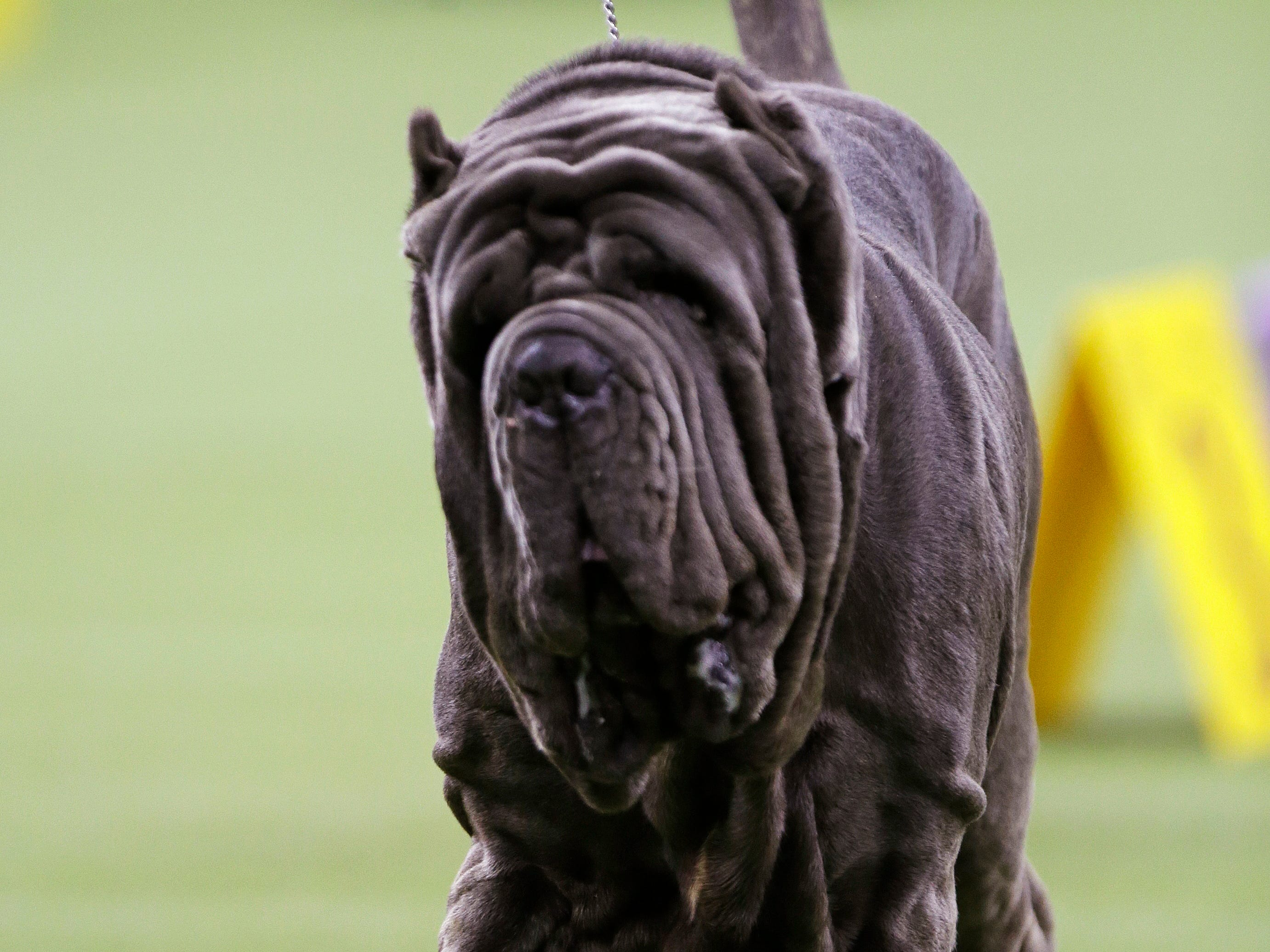 A Neapolitan mastiff competes with the working group at the 143rd Westminster Kennel Club Dog Show.