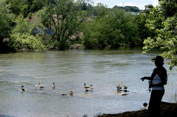 Geese float in the French Broad River in the section along Riverside Drive.