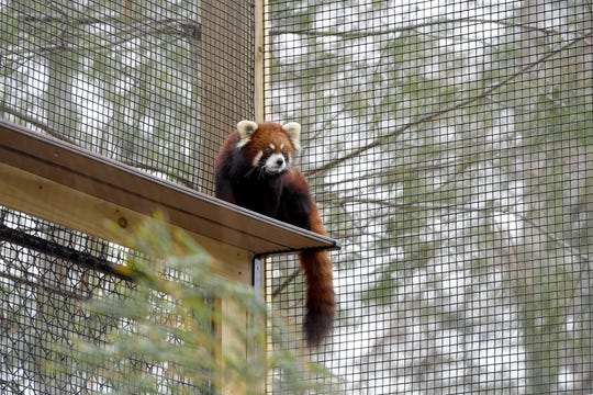 Phoenix, the red panda, wanders his enclosure at the WNC Nature Center. You might see him when on a self-guided tour for a birthday party.