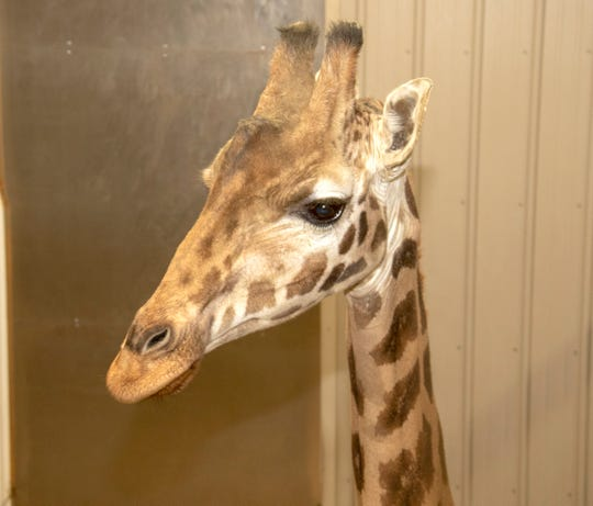 Animal Adventure Park revealed a new unnamed female giraffe is now living at the park with Tajiri.