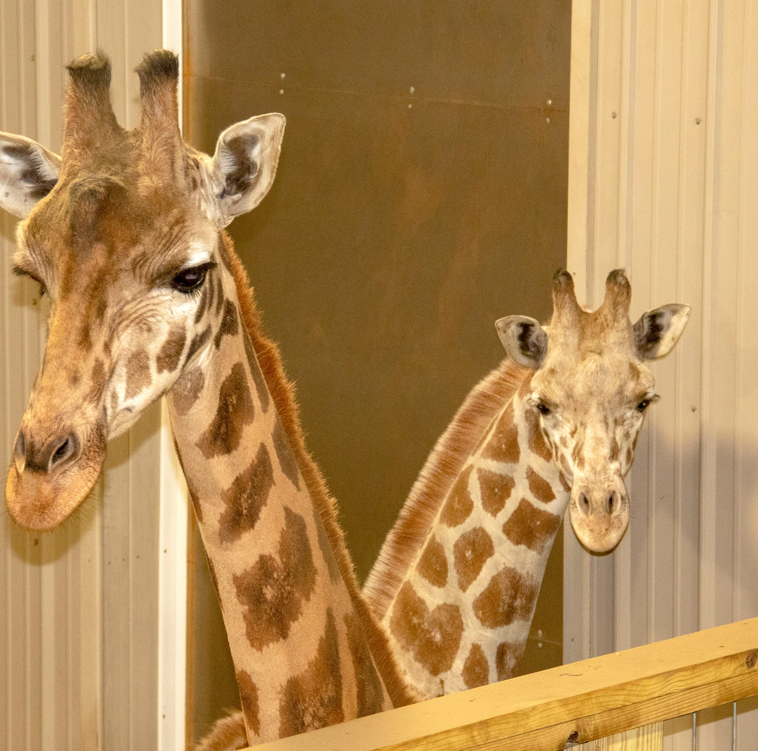 Animal Adventure giraffe's new companion: Tajiri live feed reveals park's fourth giraffe