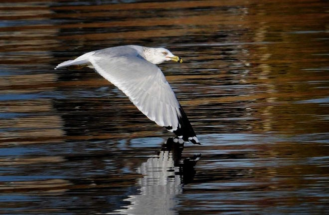 Ring-billed gulls often spend winters in the Tri-State, scavenging for food and fishing in the river.