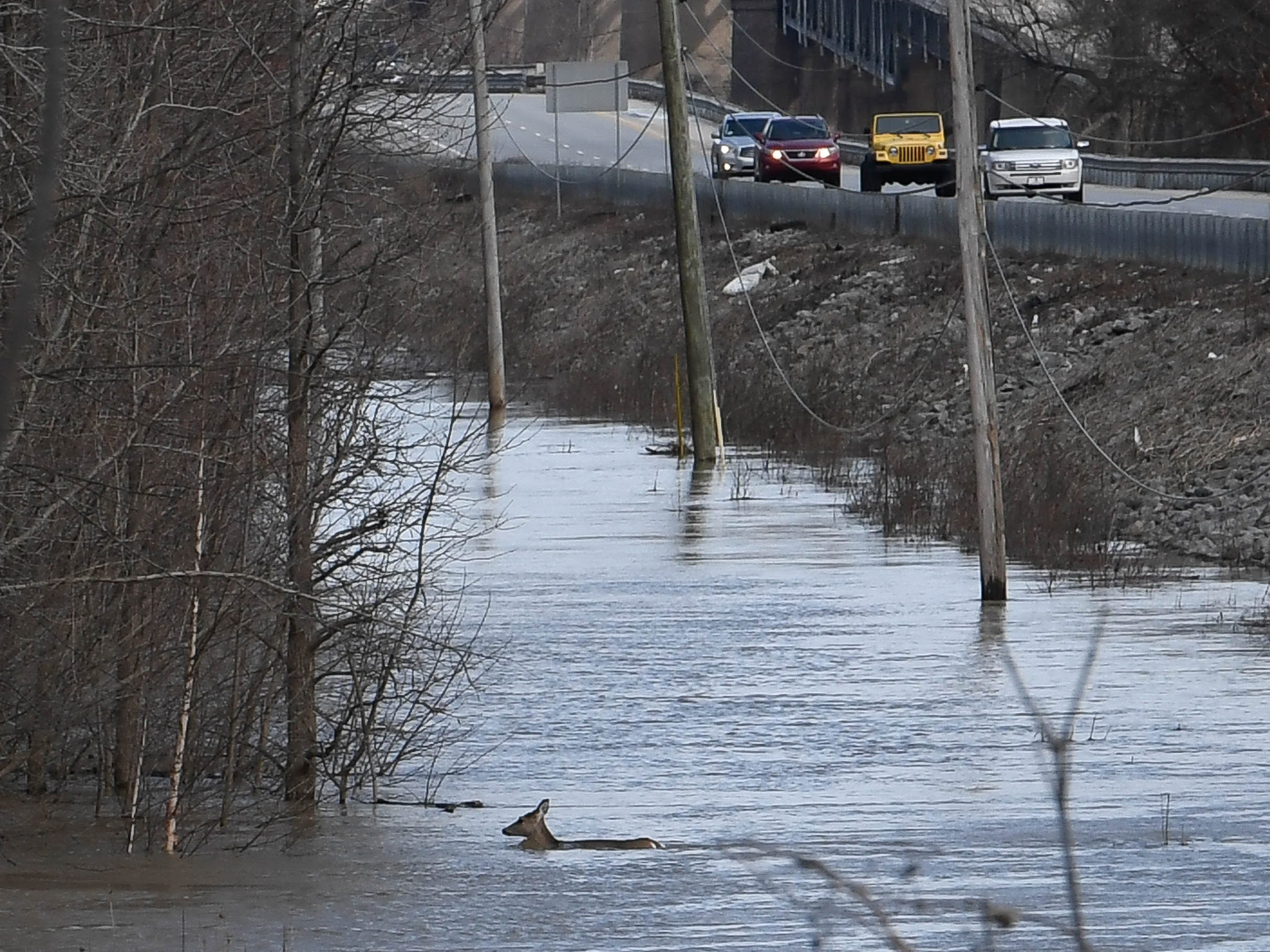 Deer swims in the flood waters beside the southbound U.S. 41 near the twin bridges as high water forces them out of their river-bottom habitat Thursday, February 14, 2019.