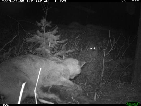 Cameras captured two mountain lions in the area where a mountain lion attack occurred near Fort Collins