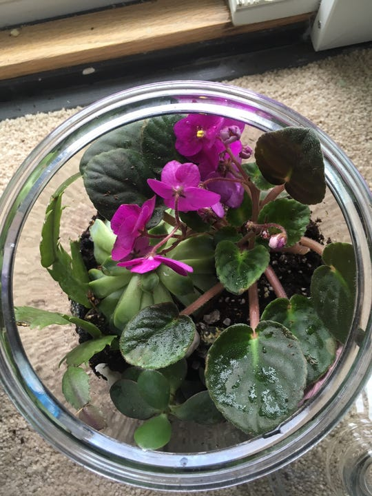 Violets add a nice purple pop to any terrarium.