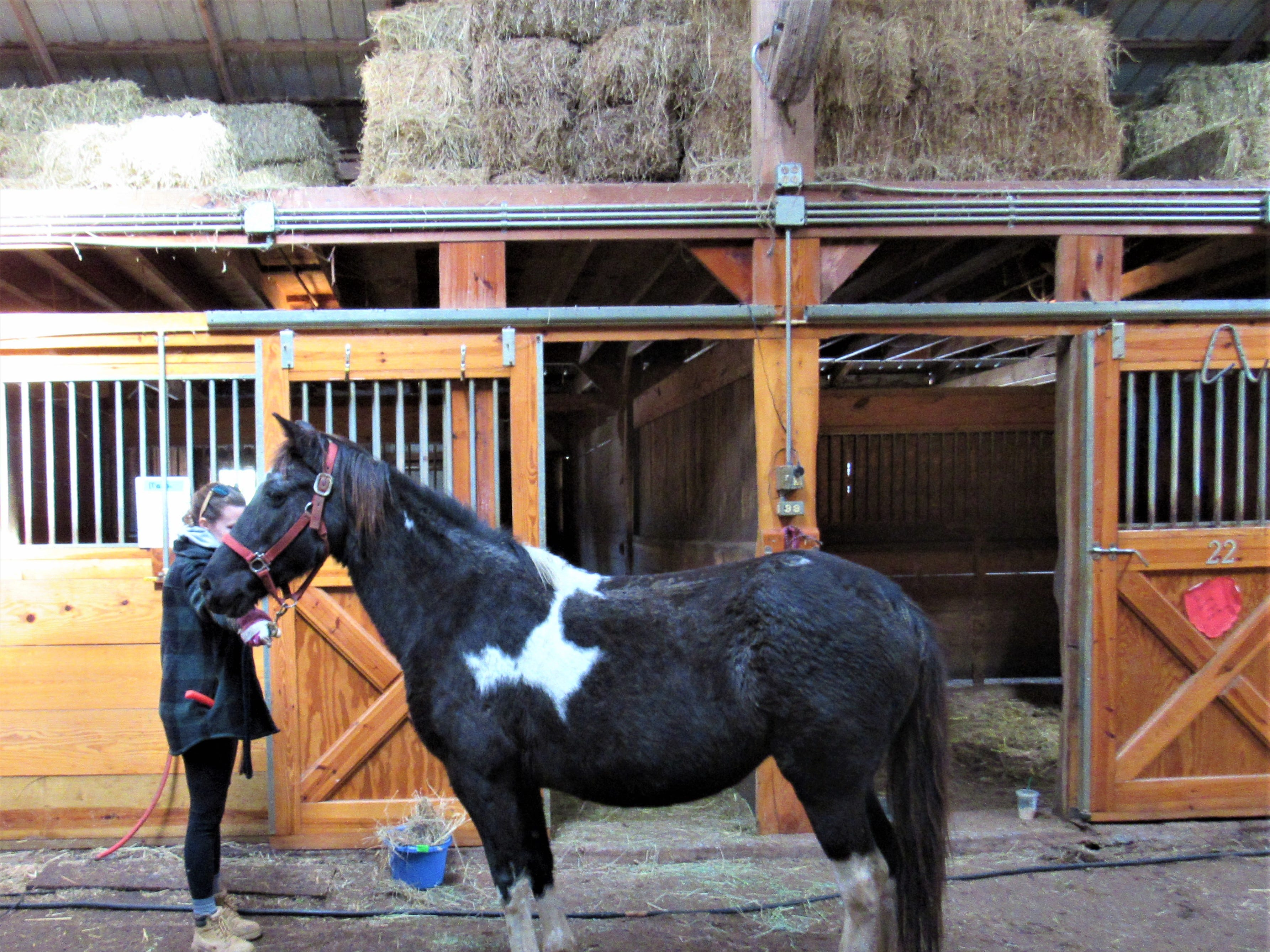"""Maria is due to foal any day now. She and the other expectant moms are cared for by """"The Aunties."""" These volunteers feed, exercise and prepare them for the big event."""