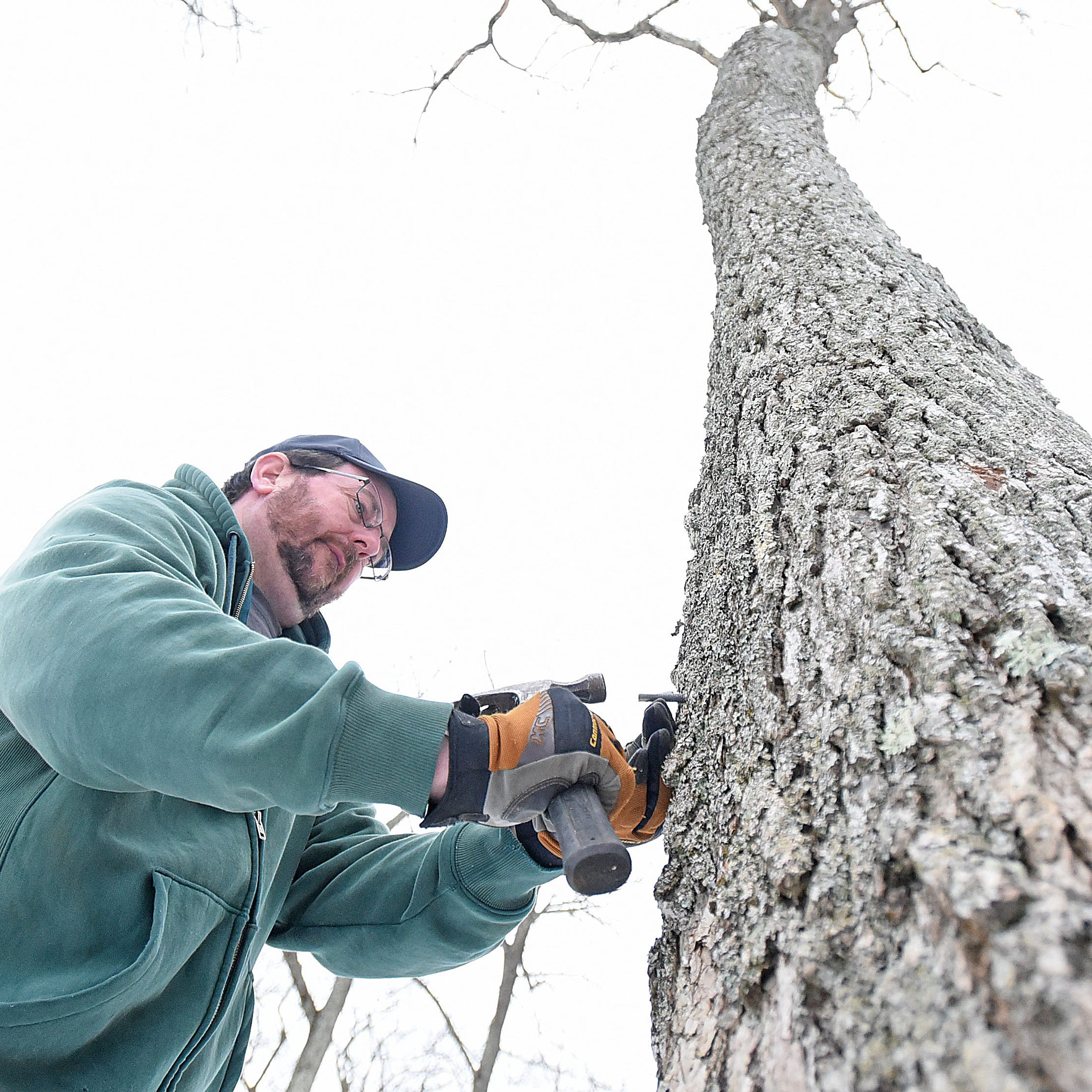 Maple taps bring sap that will soon be syrup