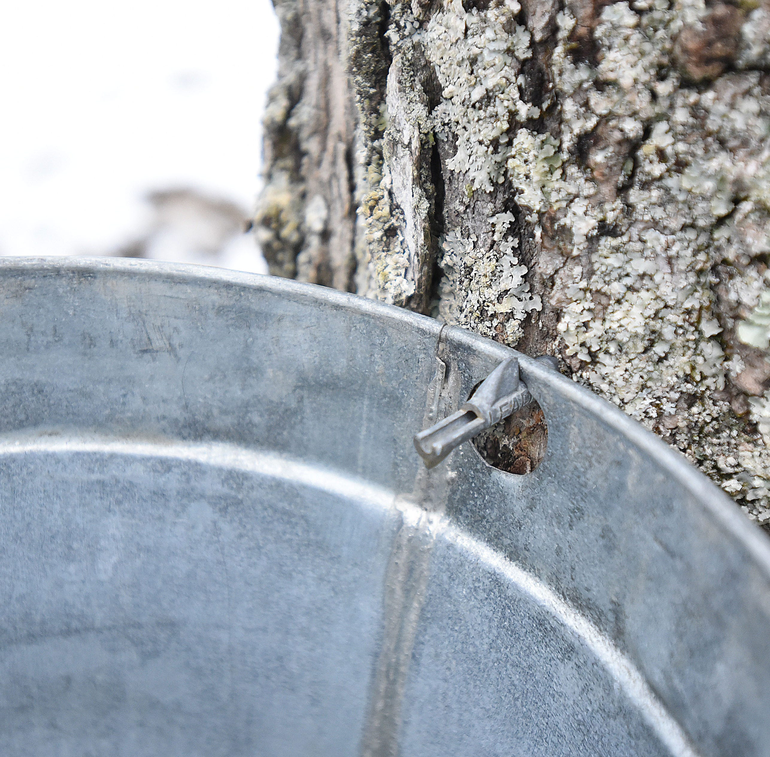 In The Garden | Maple syrup season is upon us