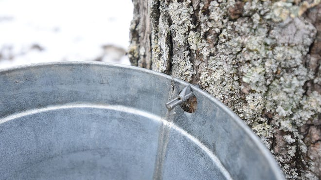 A collection bucket hangs over a tap used for retrieving maple sap from a tree at Malabar Farm State Park.