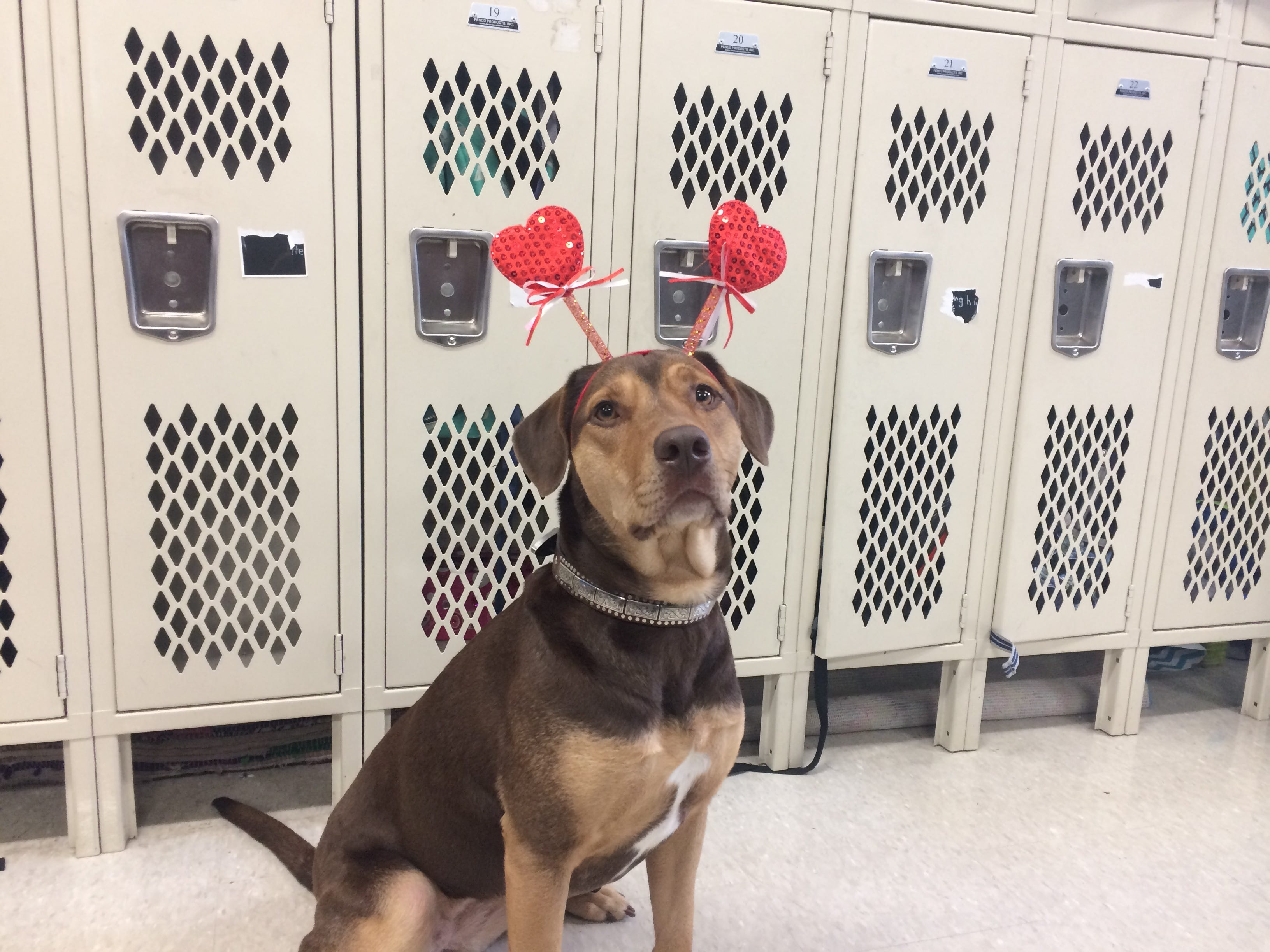 On Valentine's Day, Shelby, former Cheatham County Animal Control shelter dog, visits students at Kingston Springs Elementary School after starring in 'A Dog's Way Home.'