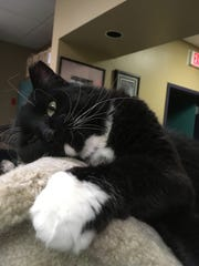 Fuzzy is a boy who loves to get belly rubs. And he loves the human who gives them. Visit Fuzzy at the Oshkosh Area Humane Society.