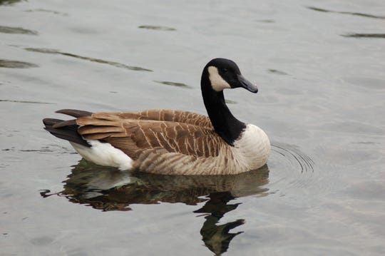 Photo caption#2: Canada geese are one of the first waterfowl to mate in the spring.