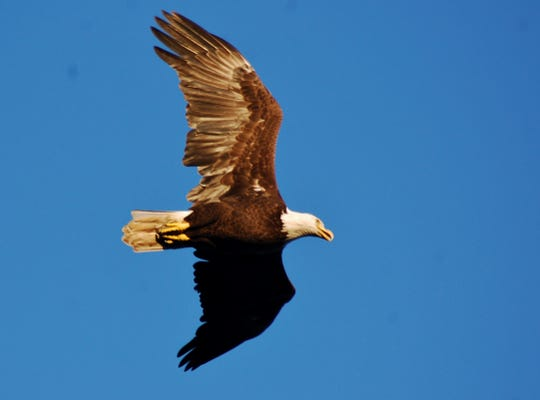 The Bald Eagle has made an amazing comeback, and we're happy to have one close by.