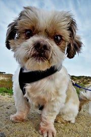 Sammy, an UnChained dog up for adoption through Peace of Mind Dog Rescue, gazes at the camera.
