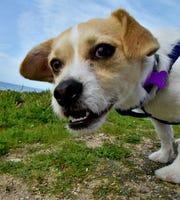 Opie, el perro que Theo está entrenando a través del programa UnChained, mira hacia la cámara.