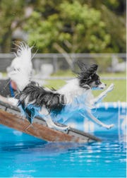 Fly, a 4-year-old Papillon, takes a leap into the swimming pool.