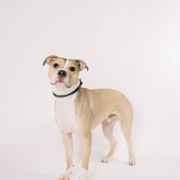Stormy, a handsome bully ready to light up your world | Marathon County Pet of the Week