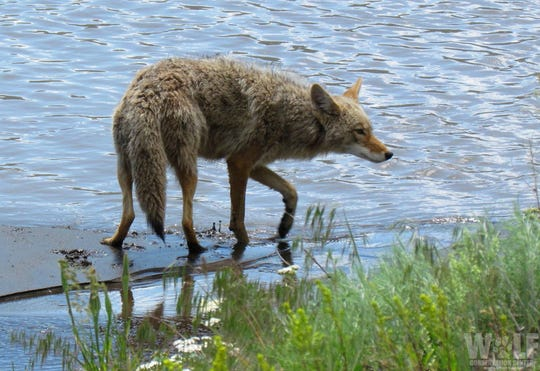 A coyote walking through water at the edge of a lake in the springtime.