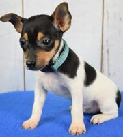 Chandlersville resident Jeni Brown purchased Jake, a Toy Fox Terrier, from Abe Miller before Christmas. Brown said Jake has shown no signs of illness.