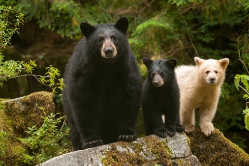 "Mother black bears can have both black and white cubs (aka spirit bears). This family has a moment in ""Great Bear Rainforest."""