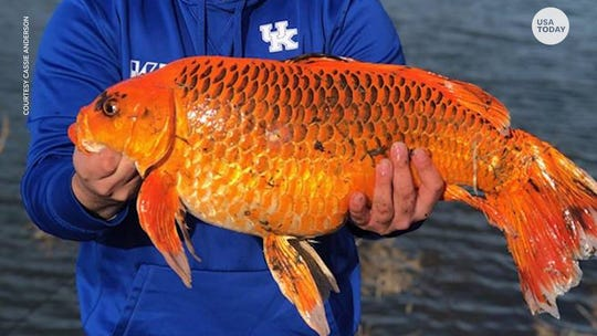 A 20-pound 'goldfish' was caught in a Kentucky pond. How a biscuit snagged an epic fish tale