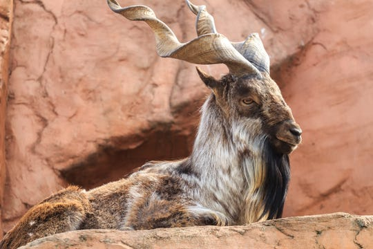 A markhor watches terrain lying on red rock.