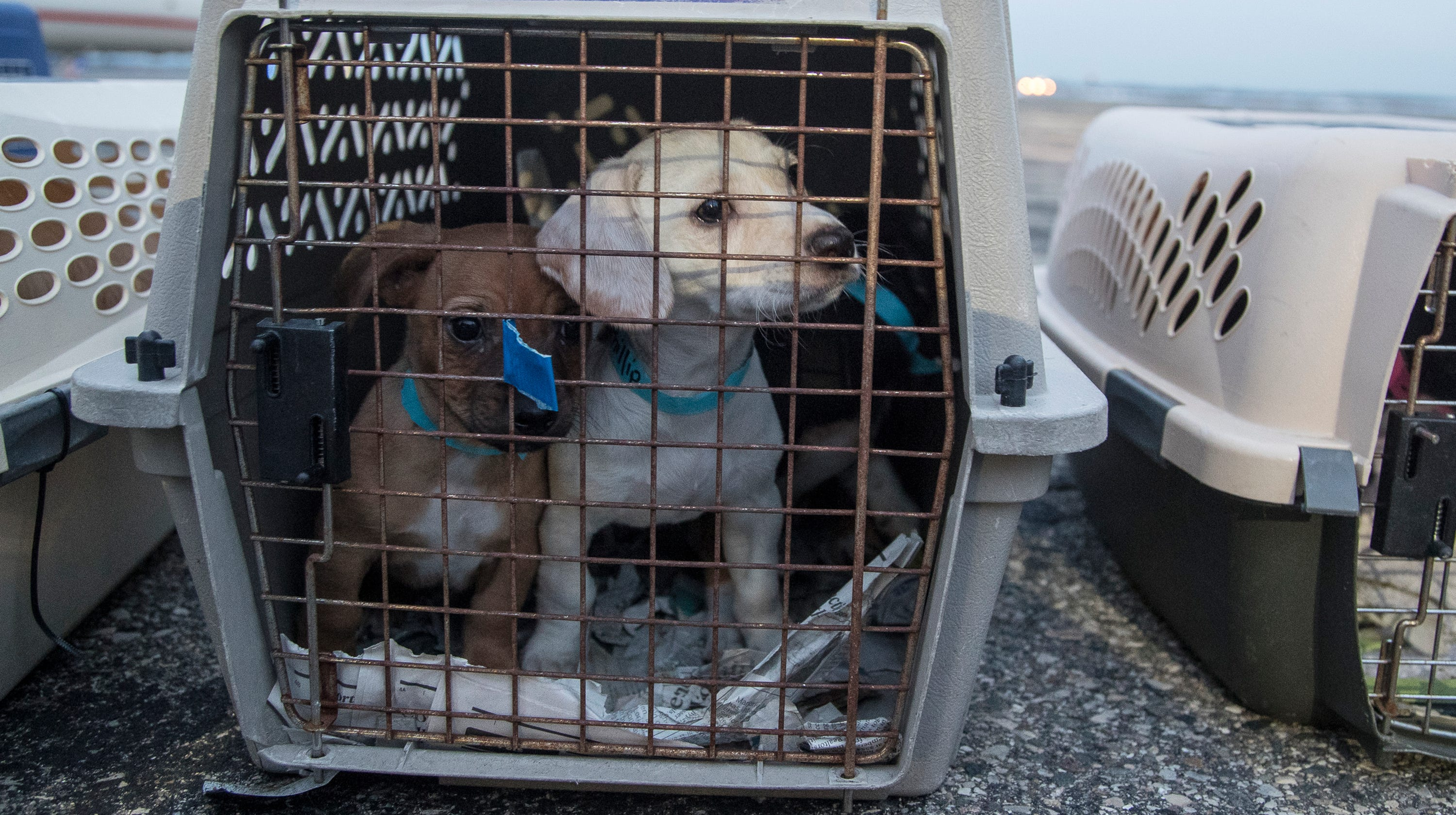 91 dogs, days from being euthanized, saved by Michigan