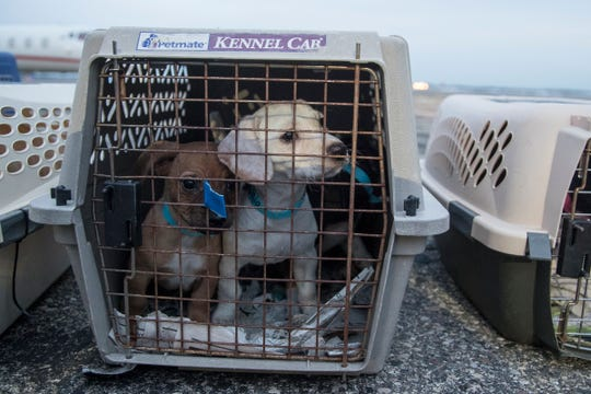 A crate with three puppies wait to get checked and transported to a metro Detroit Michigan Humane Society facility for adoption at Willow Run Airport in Ypsilanti Township, Thursday, Feb. 14, 2019.