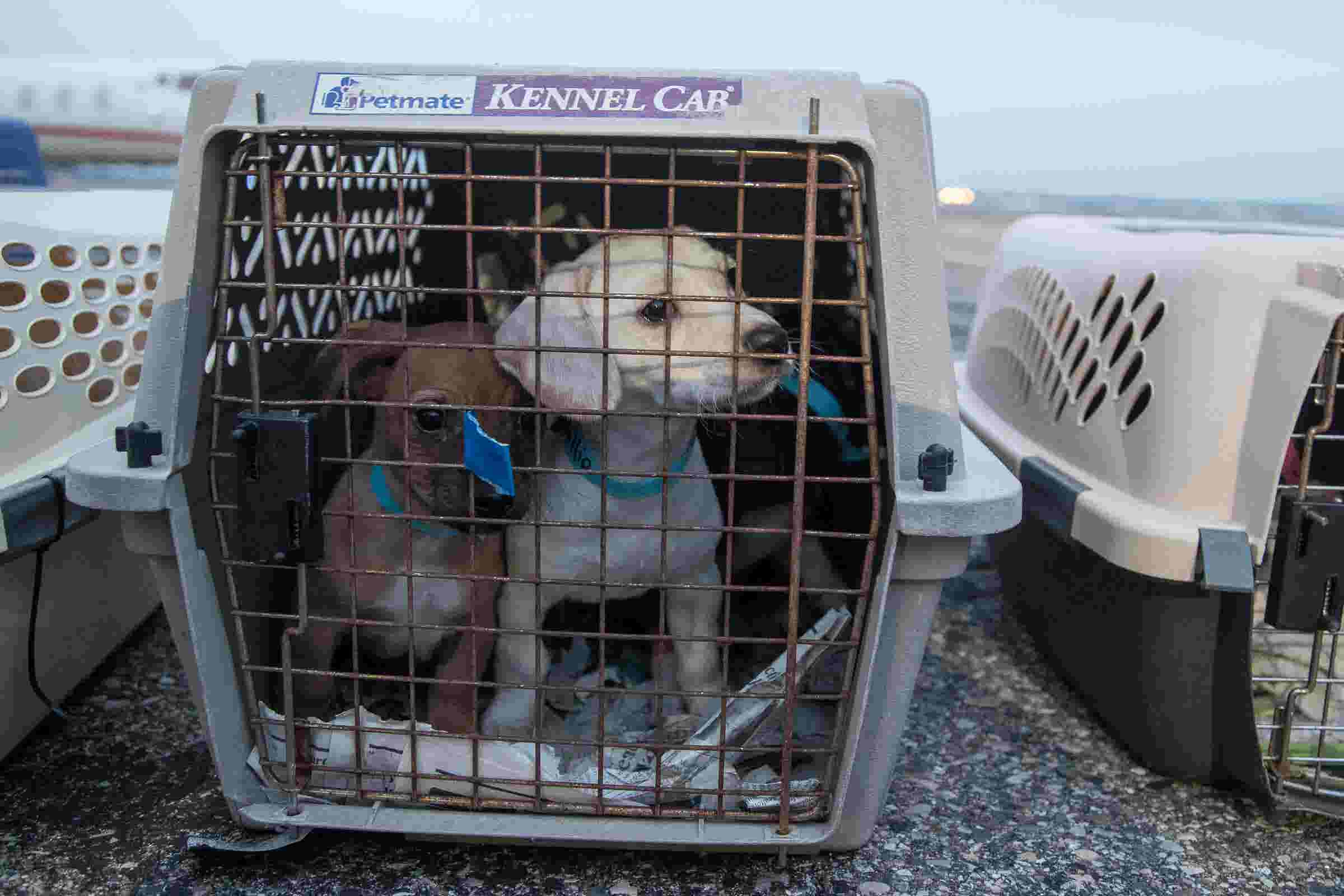 91 dogs fly from California to Michigan for adoption