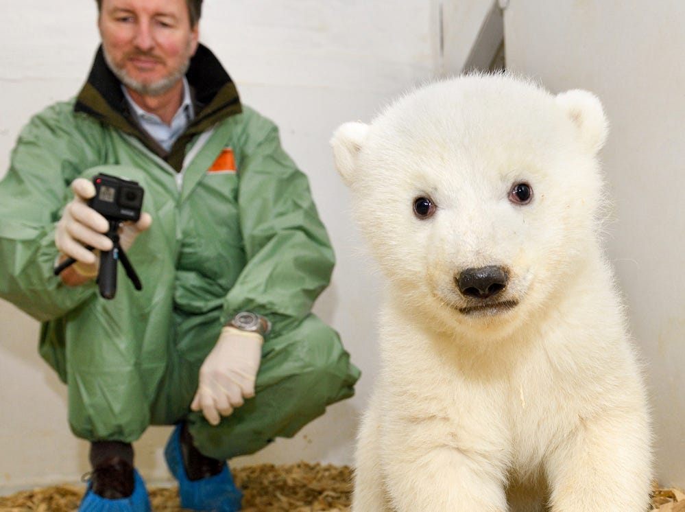 Animal doctor and zoo director Andreas Knieriem examines for the first time a little female polar bear at the zoo in Berlin, Germany, Thursday, Feb. 14, 2019. The still unnamed bear was born Dec. 1, 2018 at the zoo.