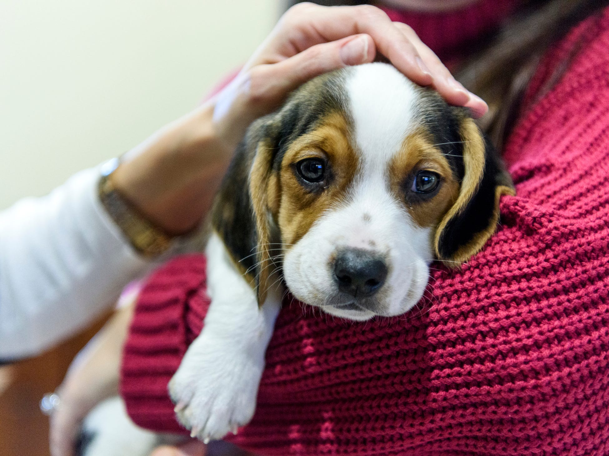Prince, an eight-week-old Beagle puppy, receives love from multiple Evansville Federal Credit Union employees, Thursday, Feb. 14, 2019. He was delivered to the bank for a 30-minute snuggle session through the Vanderburgh Humane Society's Cuddlegram program.
