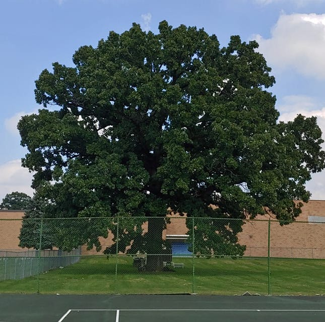 More than 200-year-old oak tree could be axed to make way for parking at Eastwood Middle