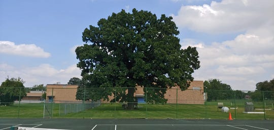 This shows the Bur Oak tree at Eastwood Middle School on Indianapolis' northside with all its foliage. The tree is believed to be more than 200 years old and is four and half feet in diameter.