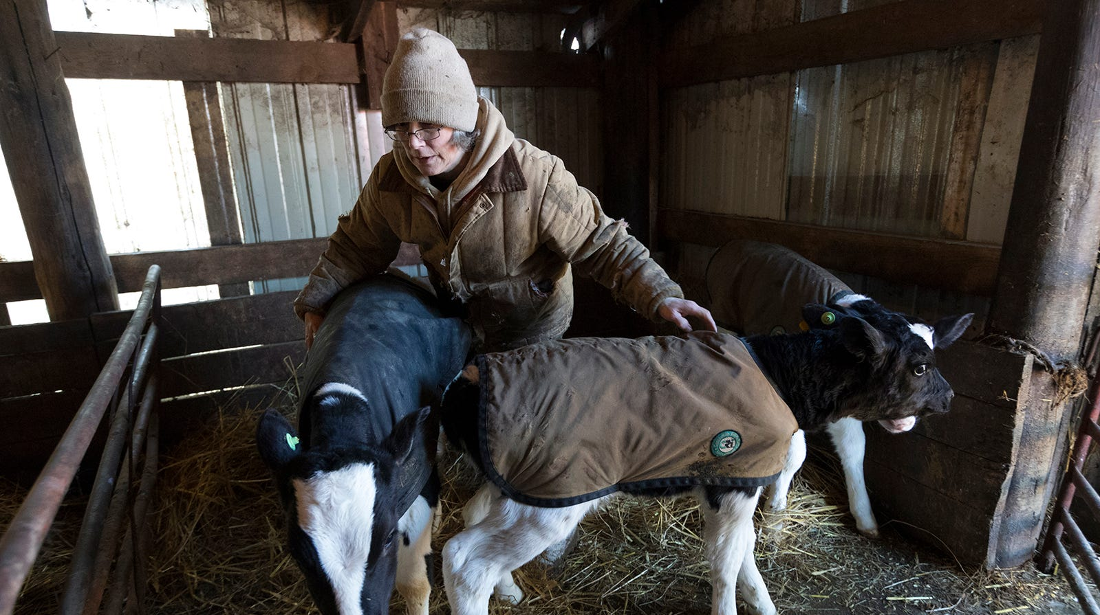 Sue Spaulding corrals calves into a pen while doing chores on their farm in Shell Lake.
