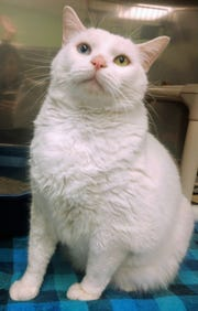 Looking for a lazy fat cat who just wants to look pretty and snuggle? Then Harvey is your guy!