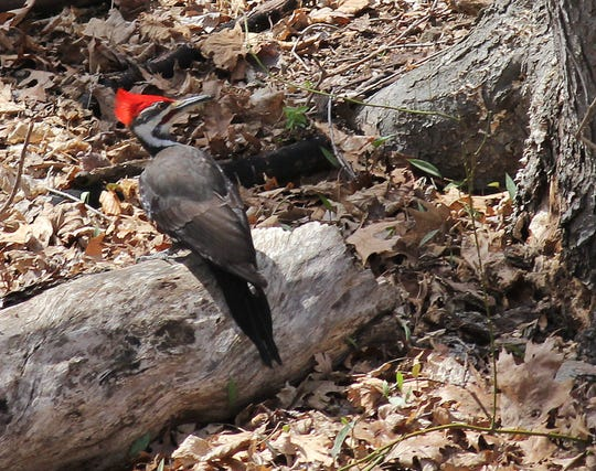 This pileated woodpecker was hanging out in Mahwah last August.