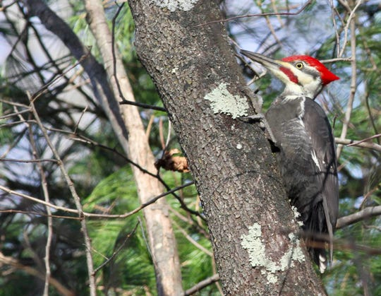 This pileated woodpecker came a-knocking this winter at a natural area in Allendale.