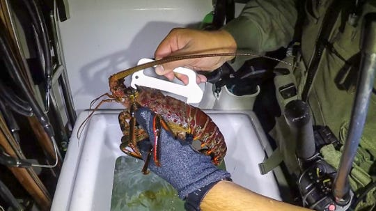 Make sure your Spiny Lobster catch is of legal size.