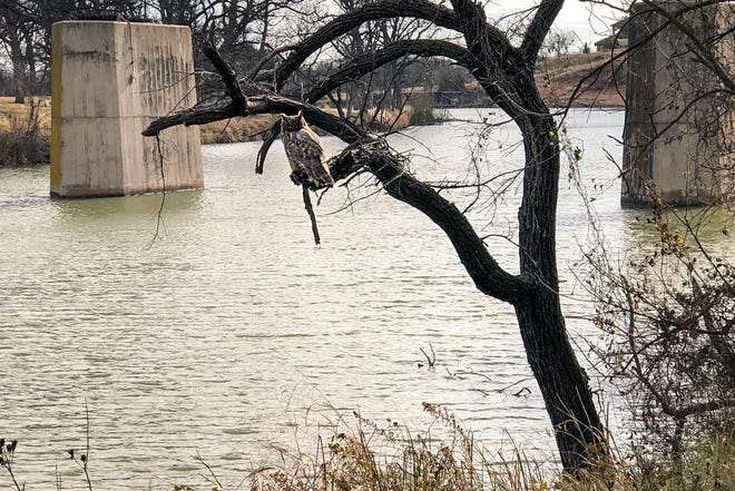 An owl hangs out along the Middle Concho River seen from the San Angelo Nature Trail.