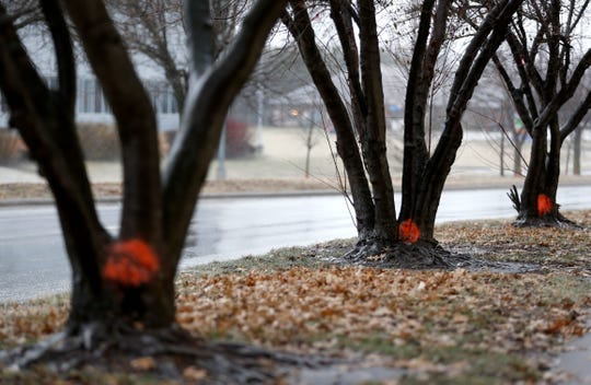 Trees on South National Avenue have been marked to be cut down on Friday, Feb. 15, 2019. 34 trees will be cut down starting Saturday and will be replaced with 50 new ones in March.
