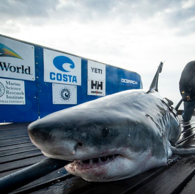 OCEARCH tags Miss May, a 10-foot great white shark, off Jacksonville coast