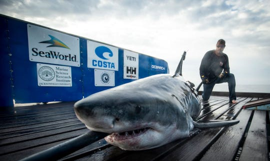 OCEARCH tagged Miss May, a 10-foot great white shark, on Feb. 15.