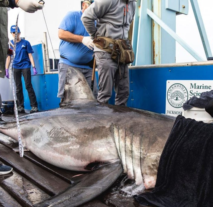 Great white shark Miss May pings off Melbourne