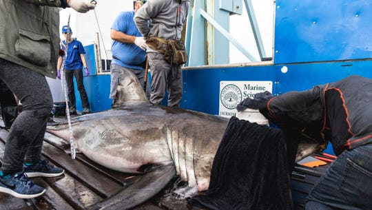 Miss May, a 10-foot great white shark tagged by OCEARCH, was named for Mayport, Florida.